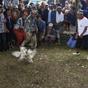 Cock fights only legal as a part of religius cermony, Bali
