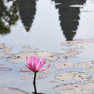 The Lotus pond in front of mighty Angkor Wat