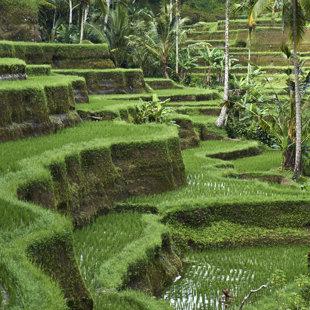 Rice paddy, Bali
