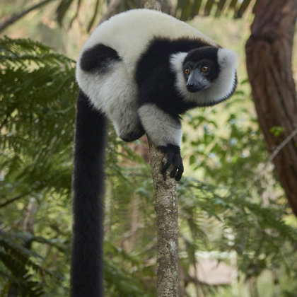 Black and white Lemur - maby the most famoust type outside Madagsacar
